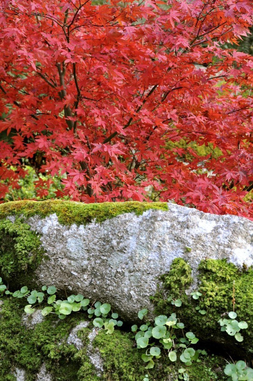 Web Acer Palmatum Osakazuki