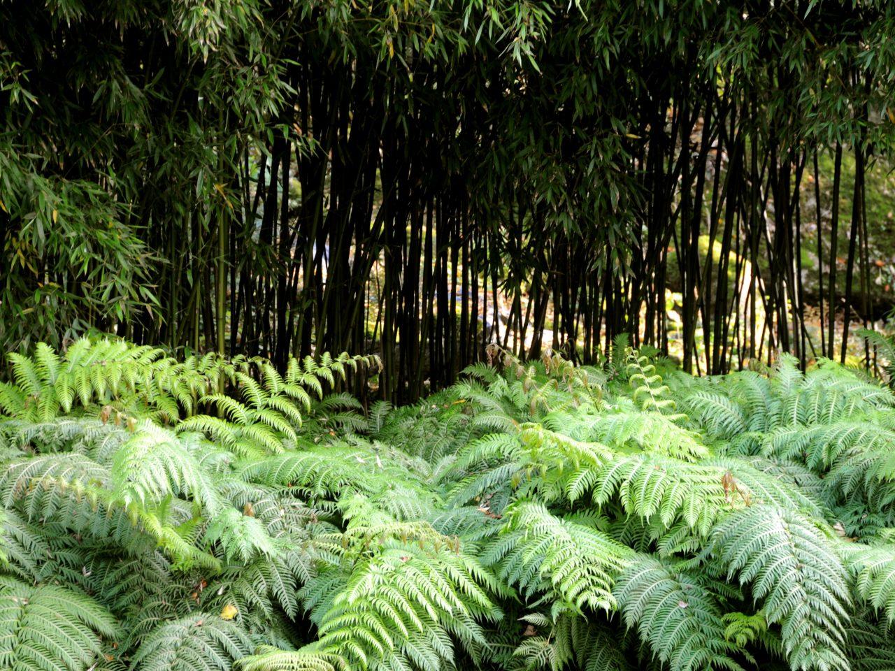Bamboofern