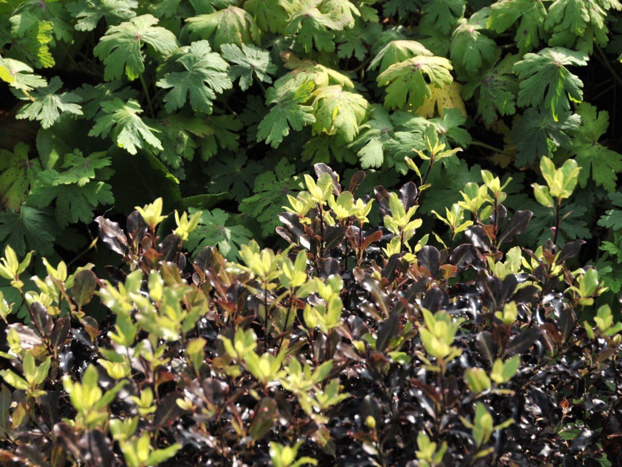 Ayrmer Geranium Pittosporum